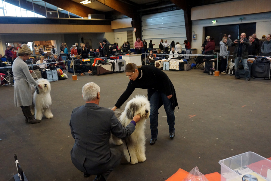 Frau Gloria Wagner Bobtail (Old English Sheepdog)